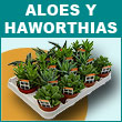 Aloes y Haworthias