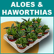 Aloes ans Haworthias